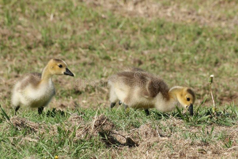 在草的两只加拿大鹅幼鹅 免版税库存照片