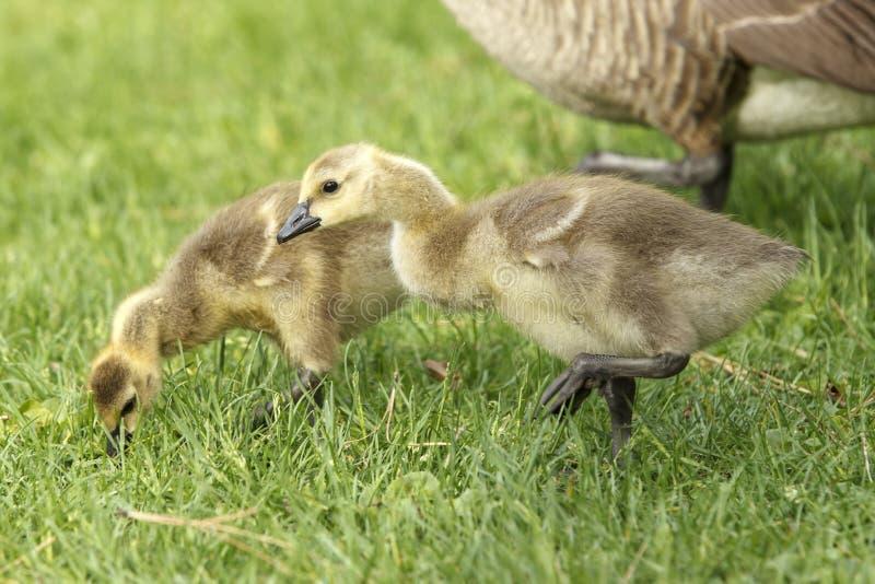 在草的两只幼鹅在公园 库存照片