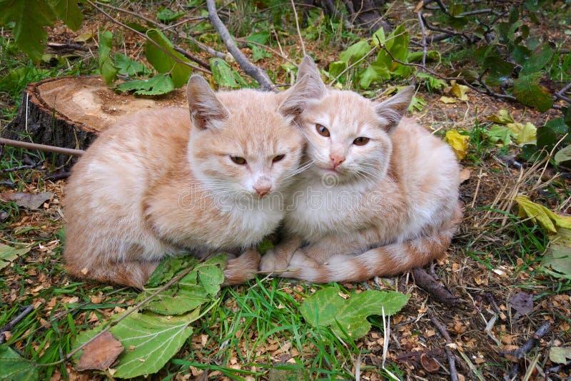 在草的两只逗人喜爱的红色小猫 图库摄影