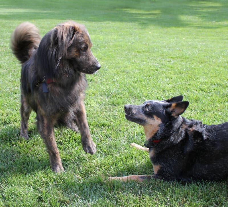 在草的两条狗戏剧 图库摄影