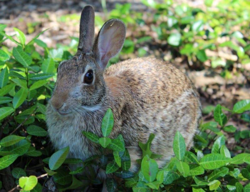 在草的兔宝宝 库存照片