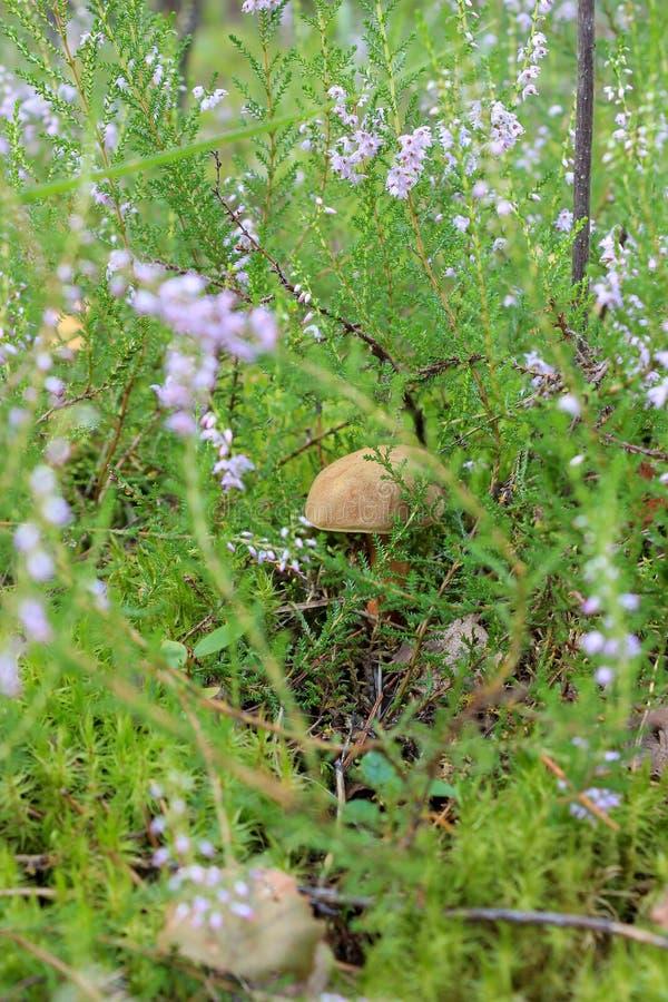 在草的可食的蘑菇 库存照片
