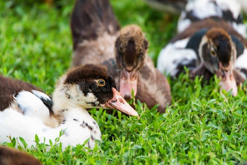 在草的国内鸭子 免版税库存照片
