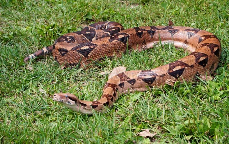 在草的大蟒蛇 免版税库存图片
