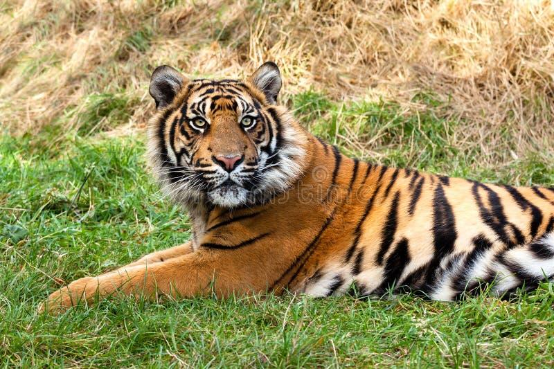 在草的好奇Sumatran老虎 免版税库存图片