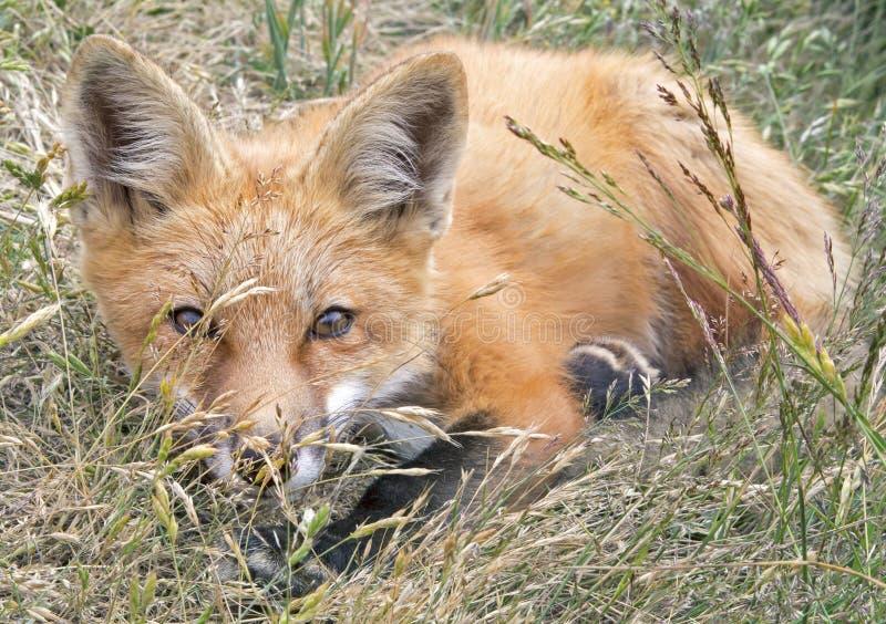 在草的嬉戏的Fox成套工具 免版税库存图片