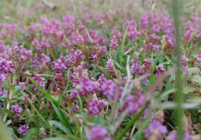 在草的小带淡红色的花 免版税库存图片