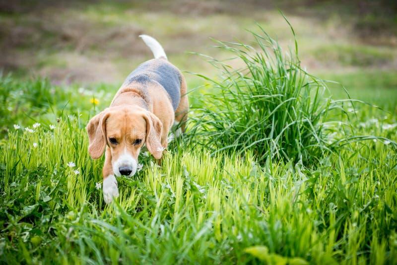 在草的小猎犬狗 免版税库存照片