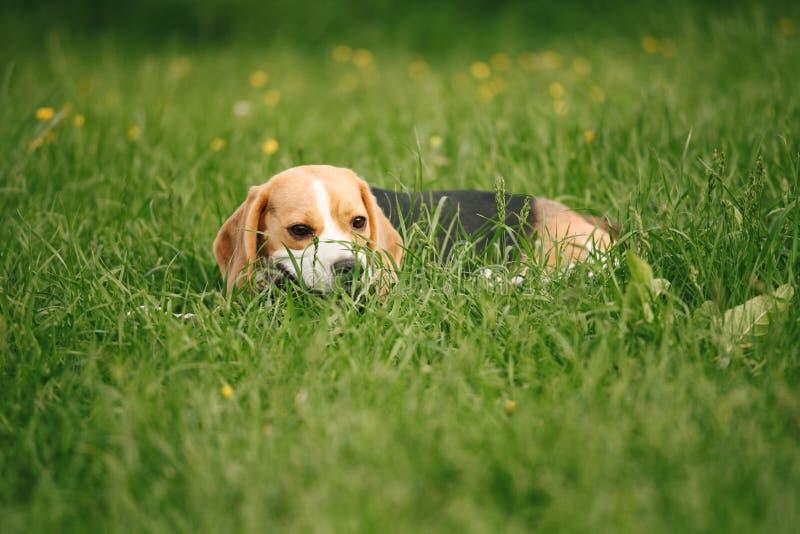 在草的小猎犬 免版税图库摄影