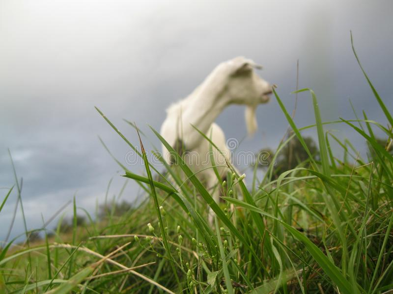 在草的山羊黎明 库存图片