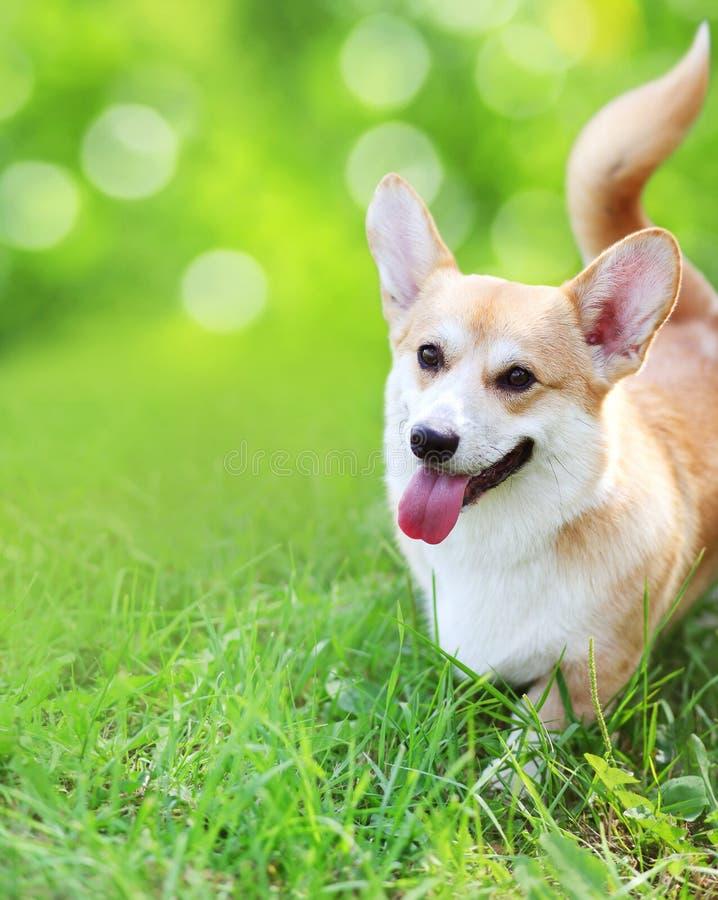 在草的愉快的狗在夏天 免版税图库摄影