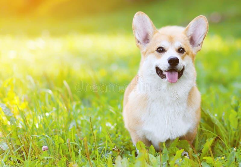 在草的愉快的狗威尔士小狗彭布罗克角在夏天 图库摄影