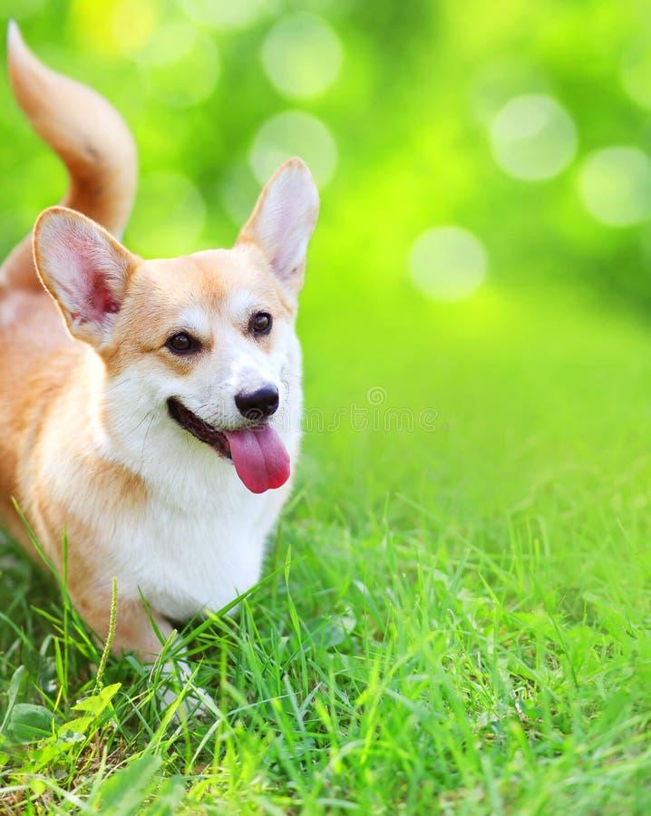 在草的愉快的狗威尔士小狗彭布罗克角在夏天 免版税库存照片