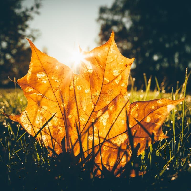 在草的枫叶由日出光illumited 库存照片