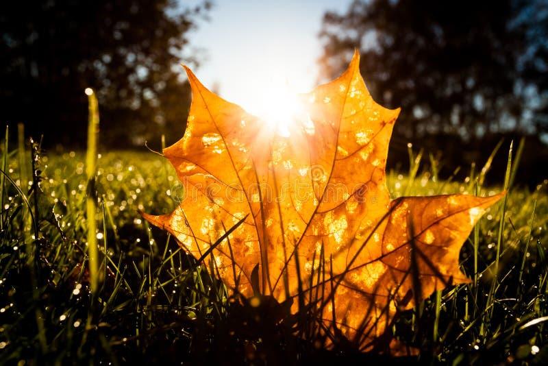 在草的枫叶由日出光illumited 免版税图库摄影