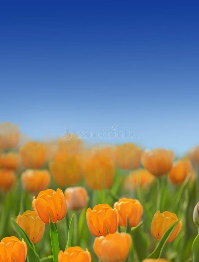在草的橙色郁金香在蓝天下 免版税库存图片