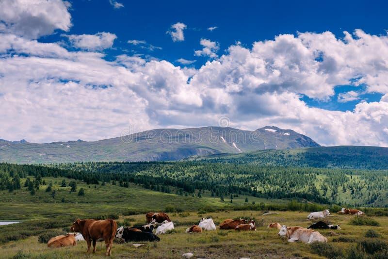 在草的母牛在山和美丽的天空背景  吃草在山草甸上流的母牛 与母牛的夏天风景 免版税库存照片
