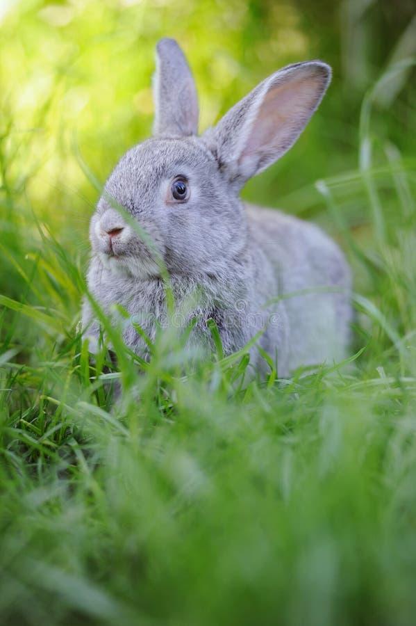 在草的灰色小兔子 库存照片