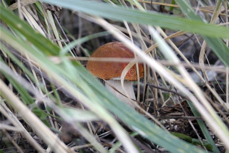 在草的牛肝菌蕈类在森林沼地 库存照片