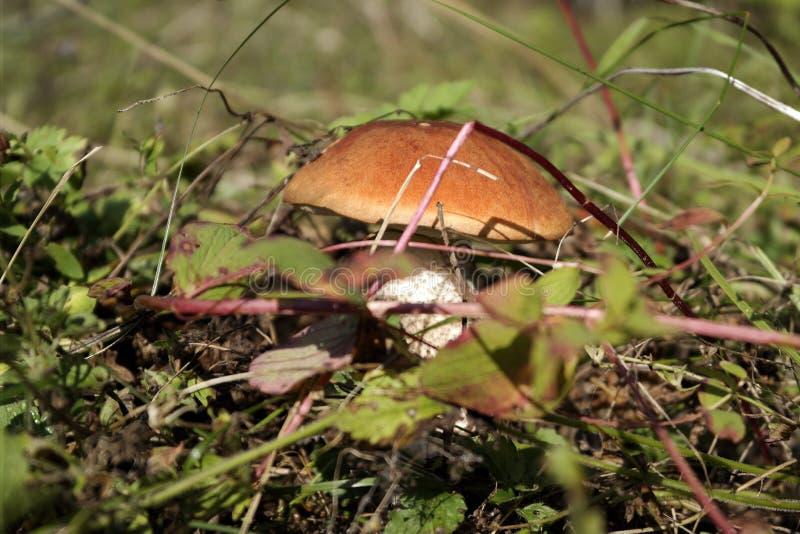 在草的牛肝菌蕈类在森林里 库存图片