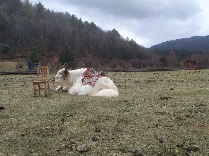 在草的牦牛 免版税库存照片