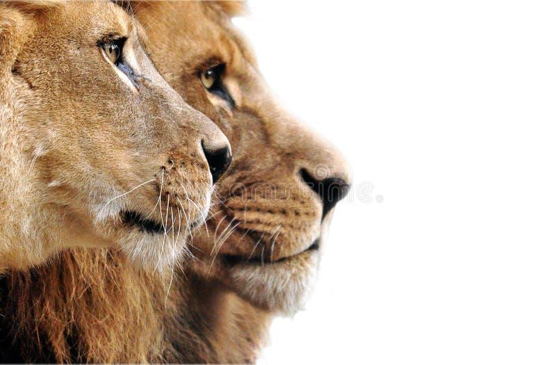 在草的狮子家庭 库存照片