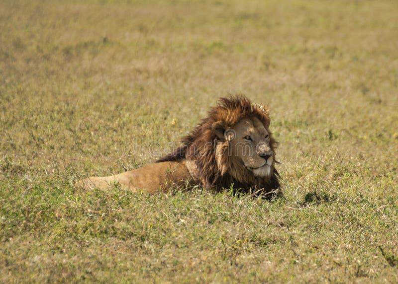 在草的狮子 免版税库存照片