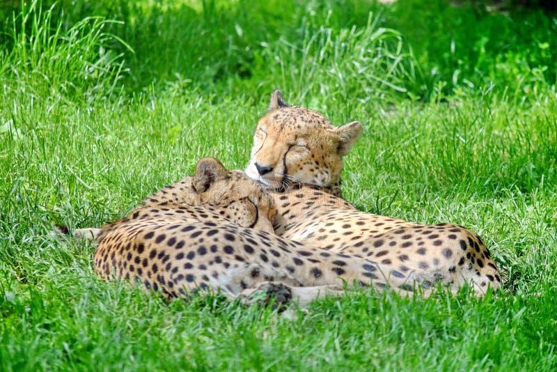 在草的猎豹夫妇 免版税库存图片