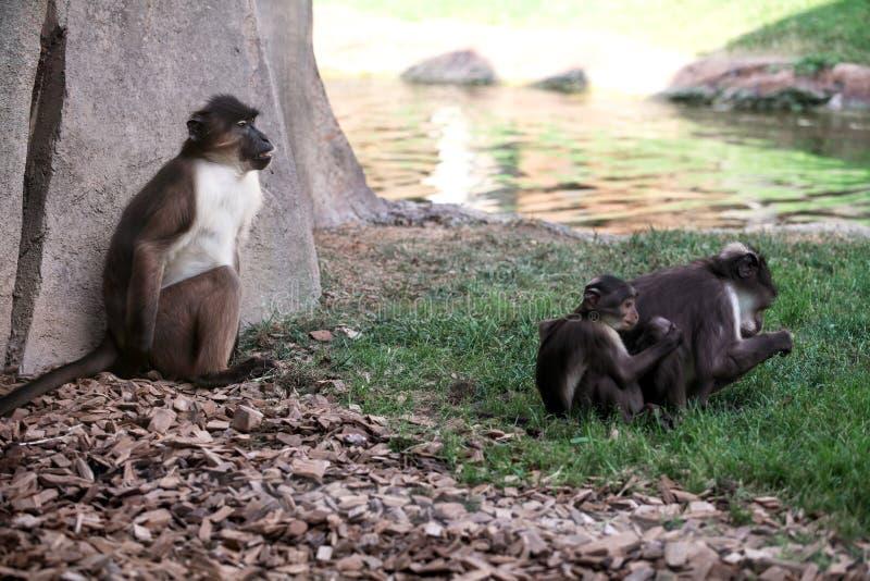 在草的猴子家庭煤烟灰白眉猴 库存照片