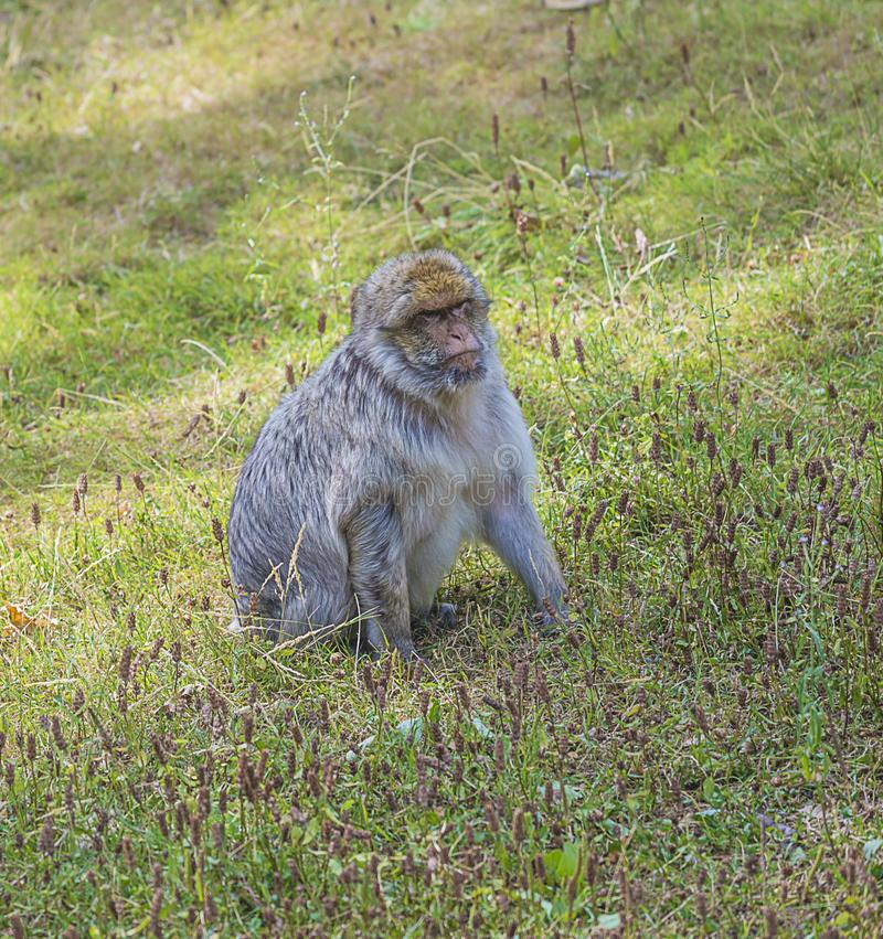 在草的猴子 图库摄影
