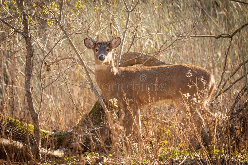 在草的白尾鹿大型装配架在日落 库存照片