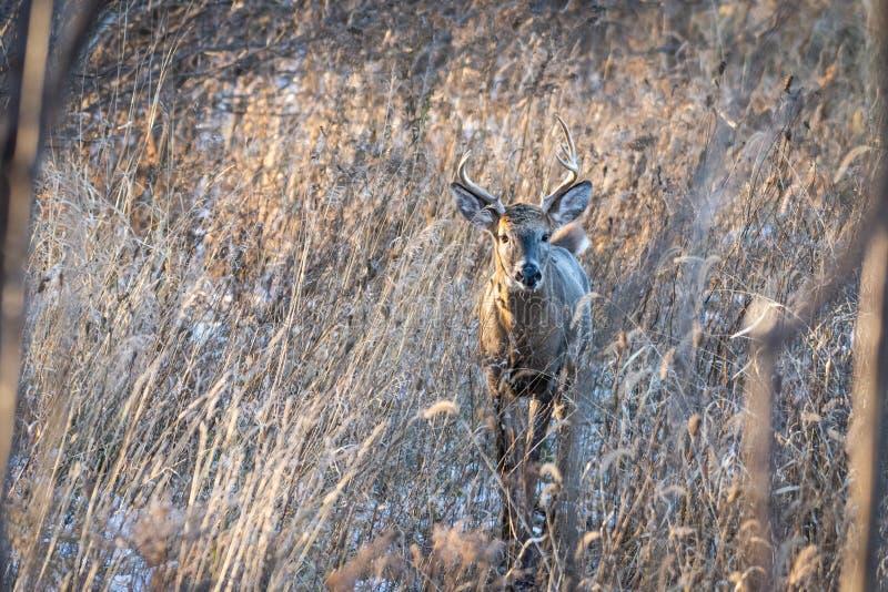 在草的白尾鹿大型装配架 库存照片