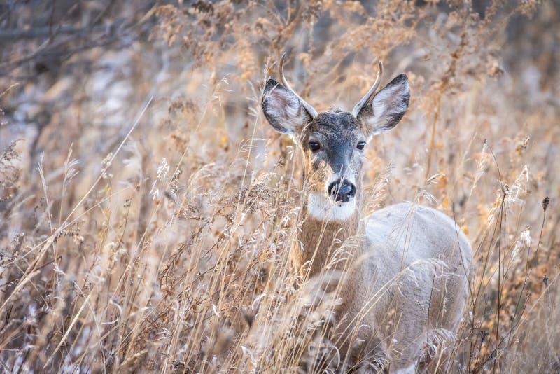 在草的白尾鹿大型装配架 免版税库存图片