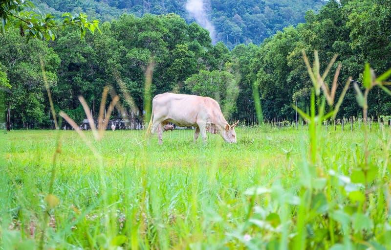 在草的白色母牛 免版税库存照片