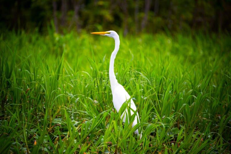 在草的白色苍鹭 库存照片