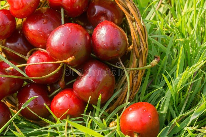 在草的红色樱桃 图库摄影