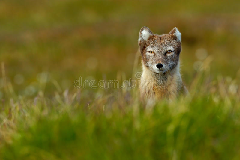 在草的美丽的野生动物 白狐,狐狸雷鸟属,逗人喜爱的动物画象在自然栖所,有流程的草草甸 免版税库存照片