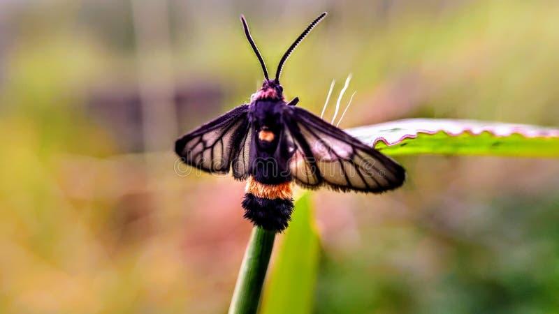 在草的美丽的黑和金黄飞蛾 库存照片