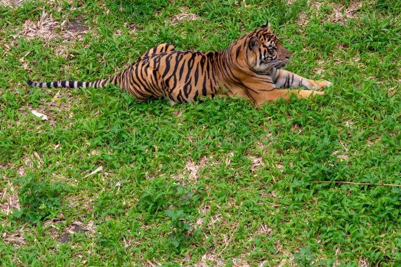 在草的老虎 免版税库存照片