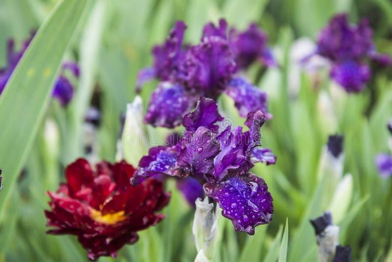 在草的花在雨以后 双重红色郁金香和蓝色虹膜在春天庭院 库存照片