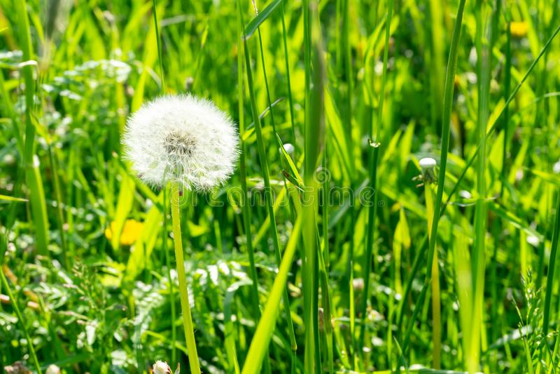 在草的蒲公英在一个晴朗的夏日 免版税图库摄影