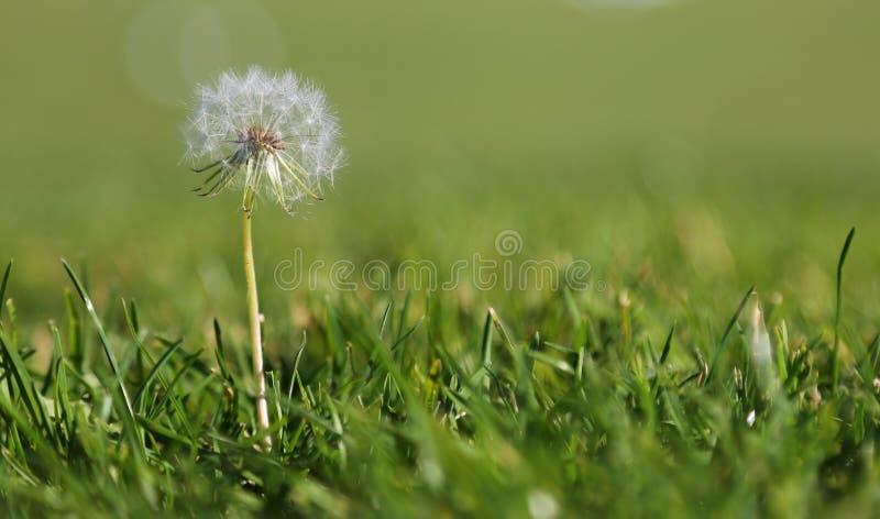在草的蒲公英 库存图片
