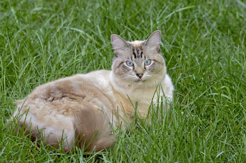 在草的蓝眼睛的猫 免版税图库摄影