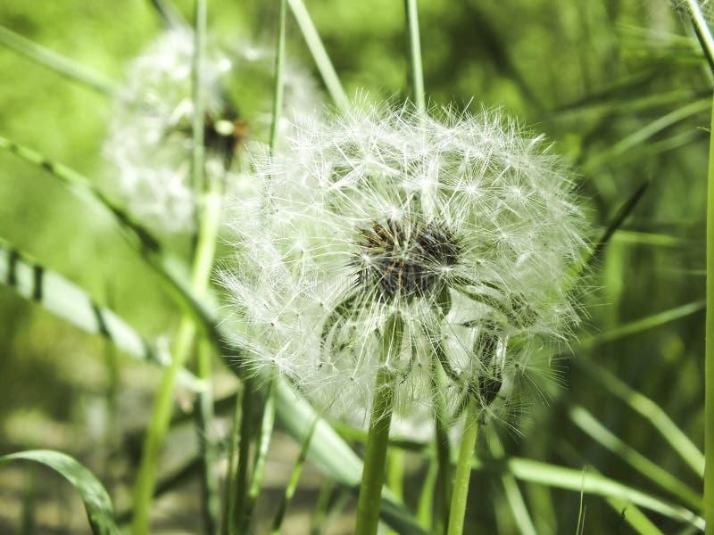 在草的蓬松蒲公英 库存照片