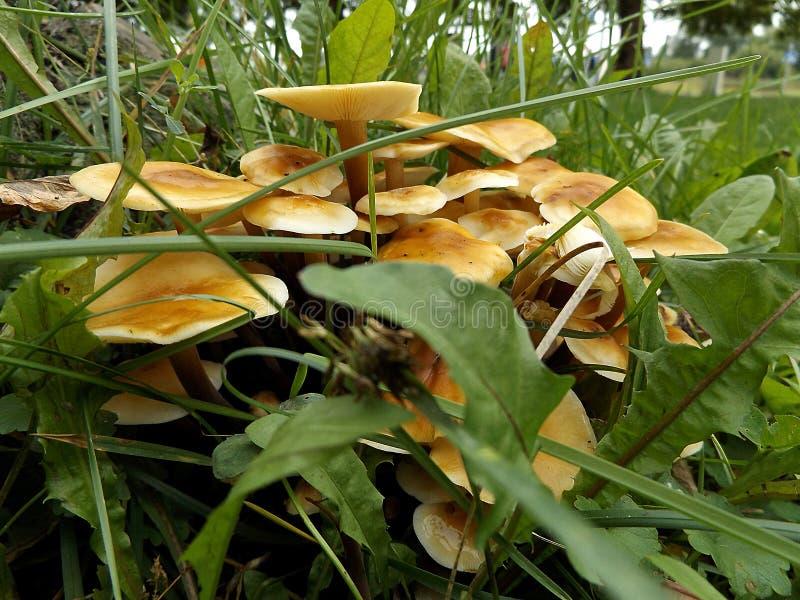 在草的蜂蜜蘑菇 免版税库存图片