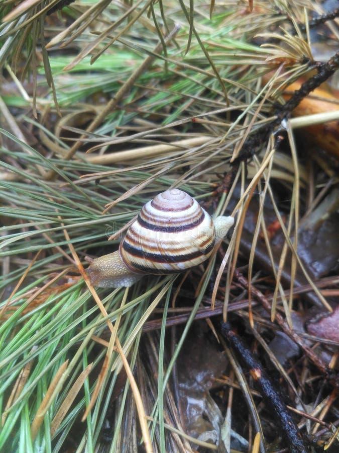 在草的蜗牛在森林里 库存照片