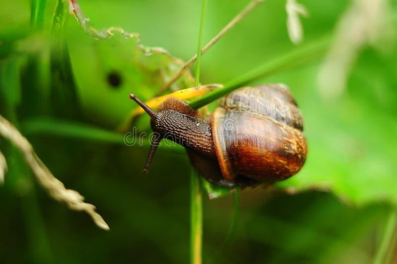 在草的蜗牛,特写镜头 免版税库存图片