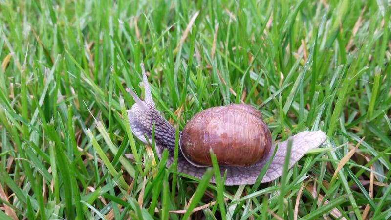 在草的蜗牛 免版税库存图片