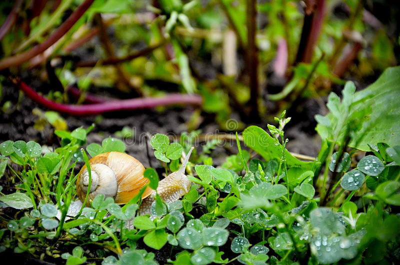 在草的蜗牛 免版税库存照片