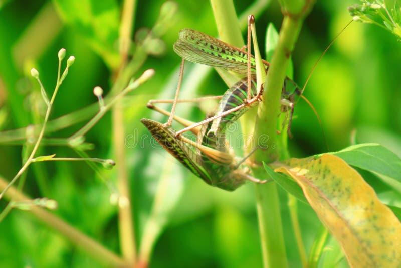 在草的蝗虫 库存图片